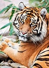 sumatran-tiger,clementoni jigsaw puzzle, 1000 pieces, photo of a majestic tiger sumatran by clementoni