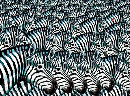 zebraszooming