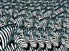 zebraszooming,