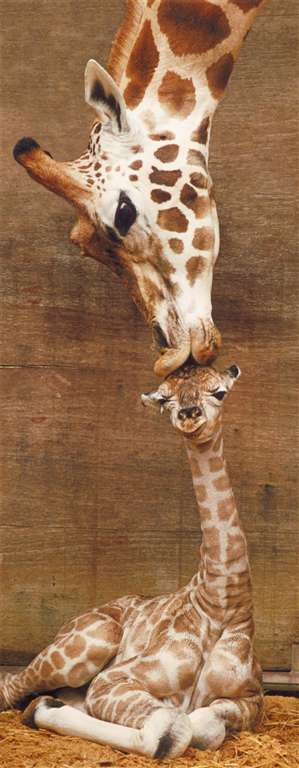 mother giraffe kissing baby giraffe photograph jogsaw puzzles jogsawpuzzles jigsawpuzzle giraffe puz a-mothers-kiss-giraffes