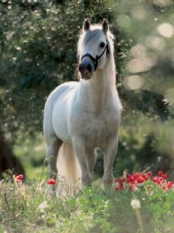 Andalusian Horse 1000Piece JigsawPuzzle manufactured by Ravensburger JigsawPuzzles andalusianhorsejigsawpuzzle
