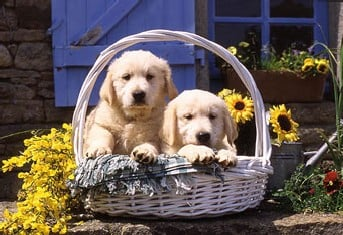 Basket of Puppies Ravensburger Jigsaw Puzzle 1000 Pieces jean-michel sotto made by Ravensberger Germ basket-puppies-jean-michel-sotto