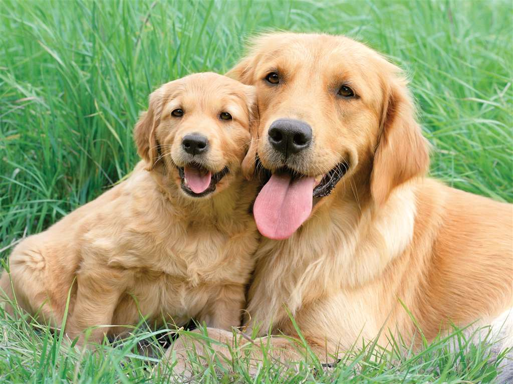 golden-retrievers-jigsaw-puzzle-1500-pieces greg cuddiford photo retriever-family