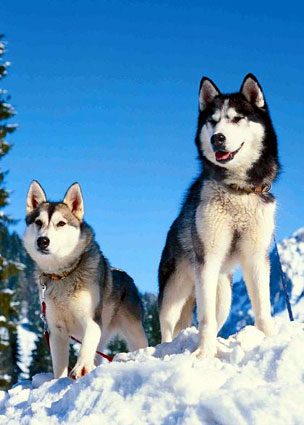 jigsaw puzzle photograph of huskies in the snow huskiesinthesnow