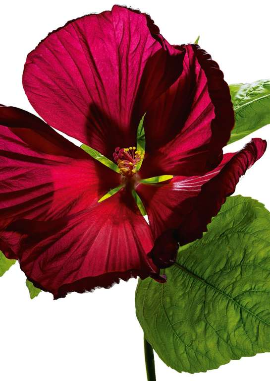 Richard Fischer's Hibiscus Flower with Gloss Effect 1000 Pieces Jigsaw Puzzle by Ravensburger Puzzle hibiscus-flower