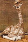 a-mothers-kiss-giraffes,mother giraffe kissing baby giraffe photograph jogsaw puzzles jogsawpuzzles jigsawpuzzle giraffe puz