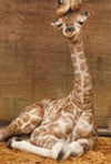 mother giraffe kissing baby giraffe photograph jogsaw puzzles jogsawpuzzles jigsawpuzzle giraffe puz