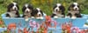bernese-mountain-dogs,bernese-mountain-dogs-jigsaw-puzzle-1000-pieces