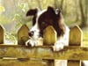peeking-pooch,peeking-pooch-jigsaw-puzzle-1000-pieces-ravensburger softclick technology john silver painter