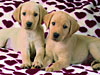 puppy-baby-golden-retrievers-jigsaw-puzzle-1500-pieces