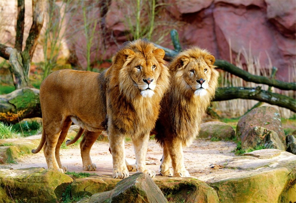 2 male lions standing side by siddewith large luxurious manes looking very regal lions-1500