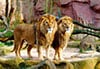 2 male lions standing side by siddewith large luxurious manes looking very regal